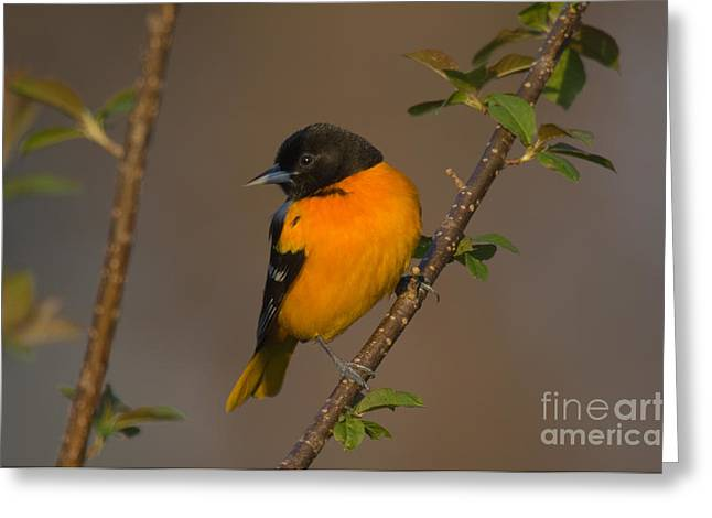 Oriole Greeting Cards - Male Northern Oriole Greeting Card by Thomas and Pat Leeson