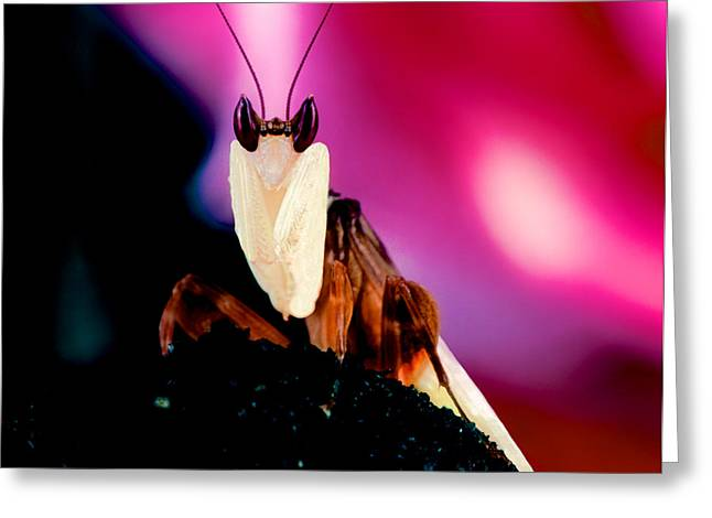 Flying Orchid Greeting Cards - Male Orchid Mantis In Front Of A Red Rose Greeting Card by Leslie Crotty
