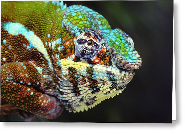 Lizard Head Greeting Cards - Male Panther Chameleon Furcifer Greeting Card by Thomas Kitchin & Victoria Hurst