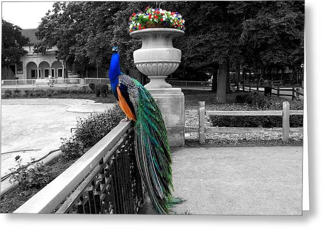 Central Il Greeting Cards - Male Peacock Bird Selective Coloring Greeting Card by Thomas Woolworth