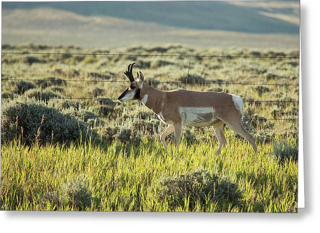 Male Pronghorn Greeting Card by Jim West