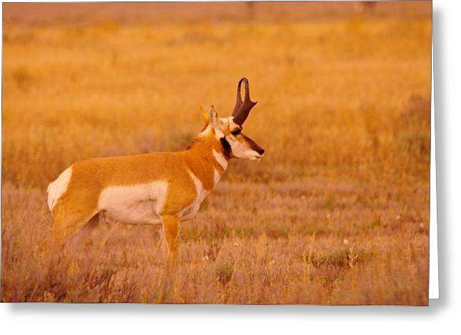 Pronghorn Greeting Cards - Male Pronghorn on the prowl Greeting Card by Jeff  Swan