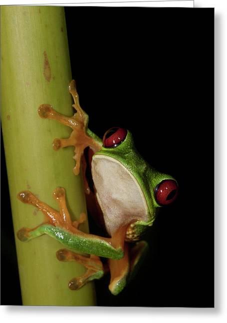 Male Red-eyed Leaf-frog (agalychnis Greeting Card by Thomas Wiewandt