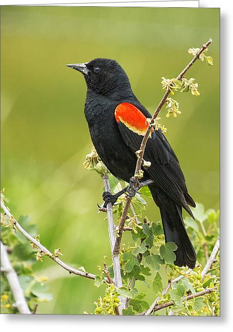 Belinda Greeting Cards - Male Red-winged Blackbird Greeting Card by Belinda Greb