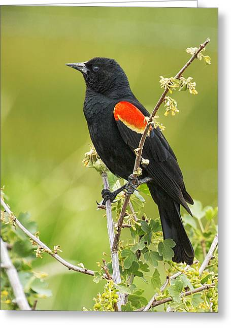 Wildlife Refuge. Greeting Cards - Male Red-winged Blackbird Greeting Card by Belinda Greb