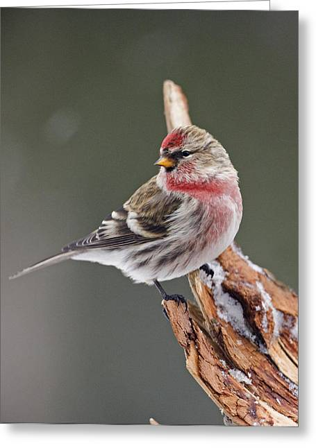 Back Yard Birds Greeting Cards - Male Redpol on a Perch Greeting Card by Tim Grams