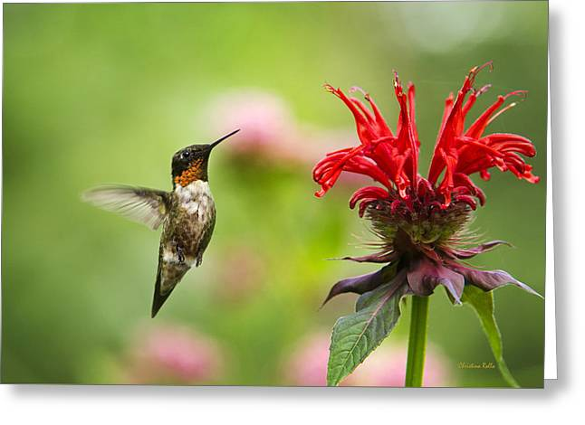 Ruby Throated Hummingbird Greeting Cards - Male Ruby-Throated Hummingbird Hovering Near Flowers Greeting Card by Christina Rollo