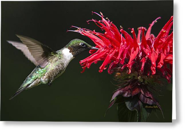Flying Animal Greeting Cards - Male Ruby-Throated Hummingbird With Red Flower Greeting Card by Christina Rollo
