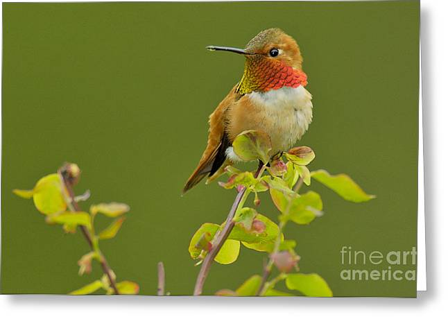 Huckleberry Greeting Cards - Male Rufous Hummingbird Greeting Card by Tom and Pat Leeson