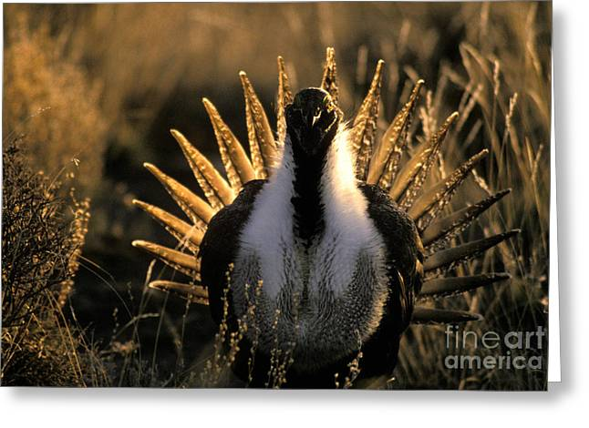 Wildlife Refuge. Greeting Cards - Male Sage Grouse In Mating Display Greeting Card by Ron Sanford