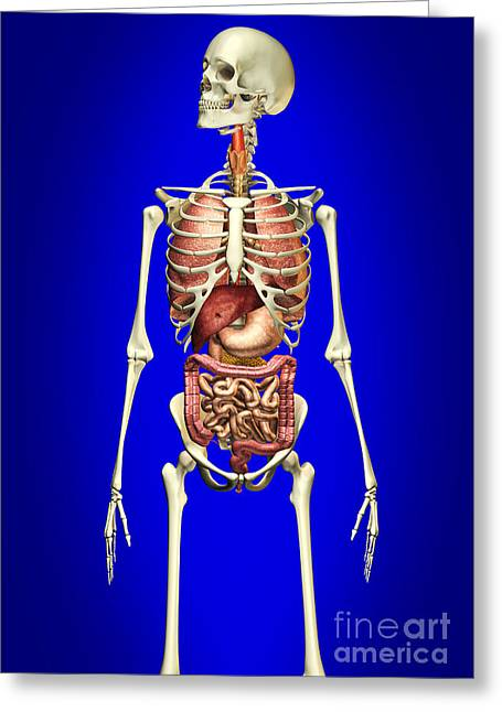 Floating Ribs Greeting Cards - Male Skeleton With Internal Organs Greeting Card by Leonello Calvetti