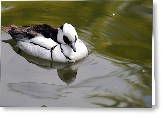 Water Fowl Mixed Media Greeting Cards - Male Smew Greeting Card by Optical Playground By MP Ray