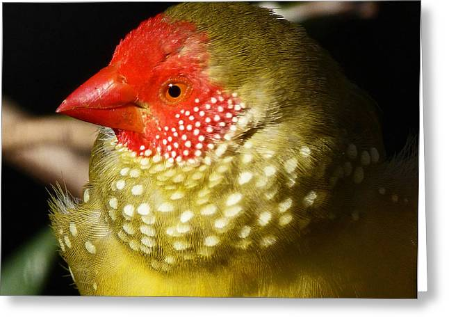 Saheed Greeting Cards - Male Star Finch Greeting Card by Margaret Saheed