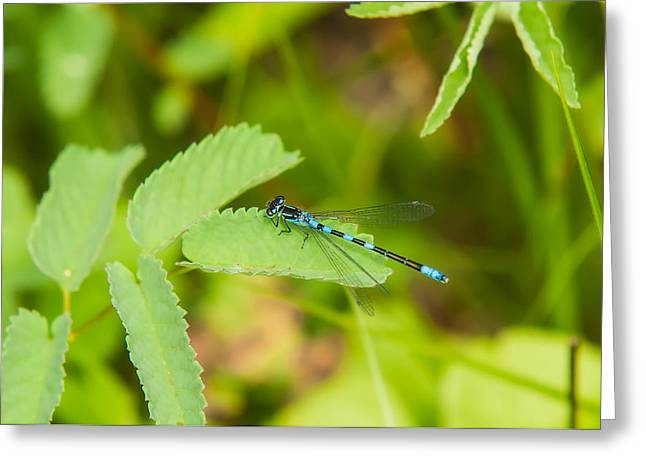 Damsel Fly Greeting Cards - Male Subarctic Bluet Greeting Card by Rich Leighton