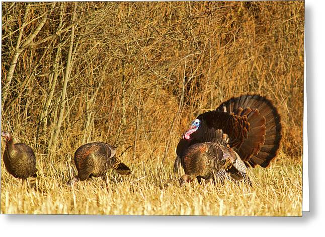 Male Tom Turkey With Hens Greeting Card by Chuck Haney