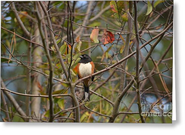 Brown Towhee Greeting Cards - Male Towhee Greeting Card by Kathy Gibbons