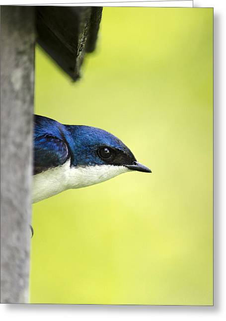 Swallow Photographs Greeting Cards - Male Tree Swallow in Nestbox Greeting Card by Christina Rollo