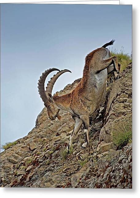 Male Wahlia Ibex Mountain Descent Greeting Card by Tony Camacho