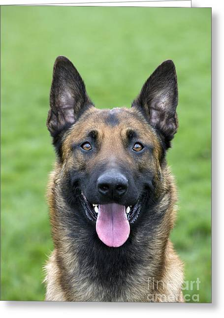 Breeds Greeting Cards - Malinois, Belgian Shepherd Dog Greeting Card by Johan De Meester