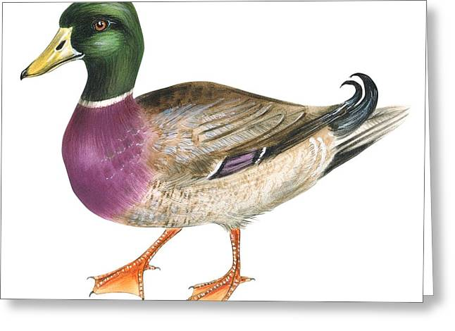 Mallard Greeting Card by Anonymous