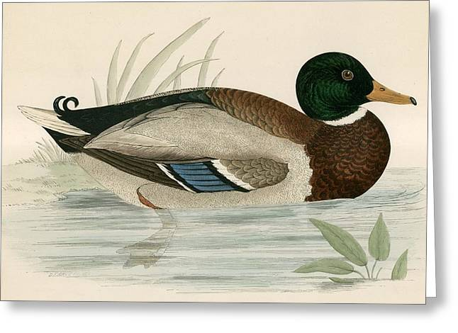 Hunting Bird Greeting Cards - Mallard Greeting Card by Beverley R. Morris