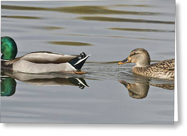 Mallard Greeting Cards - Mallard Drake And Hen Greeting Card by Anthony Mercieca