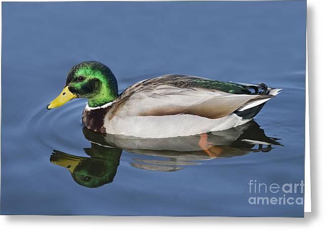 Beads Of Water Greeting Cards - Mallard Drake Greeting Card by Anthony Mercieca