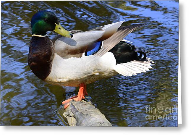 Unlimited Greeting Cards - Mallard Drake Greeting Card by Bob Christopher