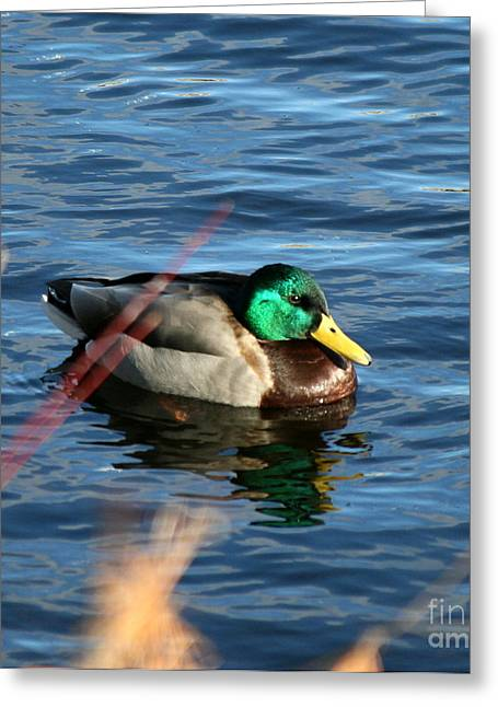 Neal Eslinger Greeting Cards - Mallard Drake Passing  Greeting Card by Neal  Eslinger