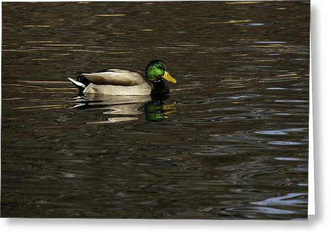 Thomas Young Photography Greeting Cards - Mallard Drake Greeting Card by Thomas Young