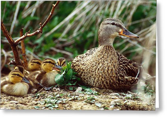Ducklings Greeting Cards - Mallard Duck And Ducklings Greeting Card by William H. Mullins