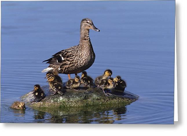 Baby Mallards Greeting Cards - Mallard Duck With Chicks Greeting Card by Konrad Wothe