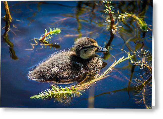 Ducklings Greeting Cards - Mallard Duckling Swimming, Flatey Greeting Card by Panoramic Images