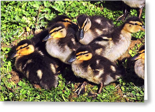 Ducklings Greeting Cards - Mallard Ducklings Greeting Card by Colin Varndell