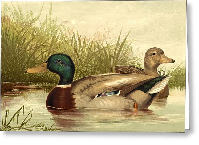 Antique Digital Art Greeting Cards - Mallard Ducks Greeting Card by Gary Grayson