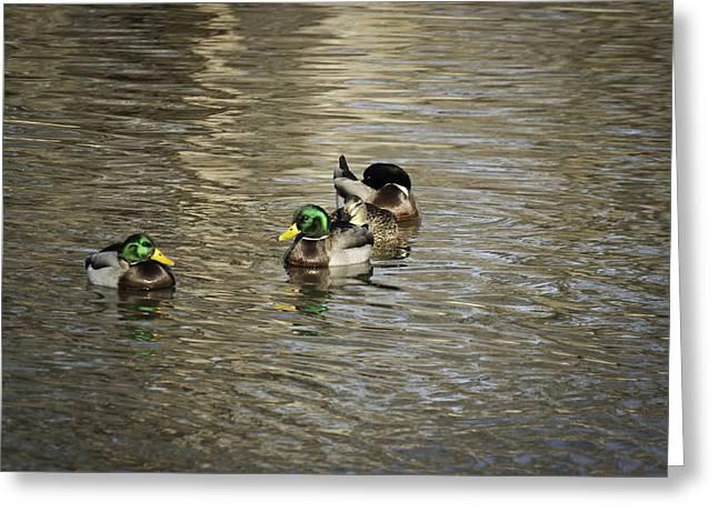 Flocks Of Ducks Greeting Cards - Mallard Ducks Greeting Card by Thomas Young