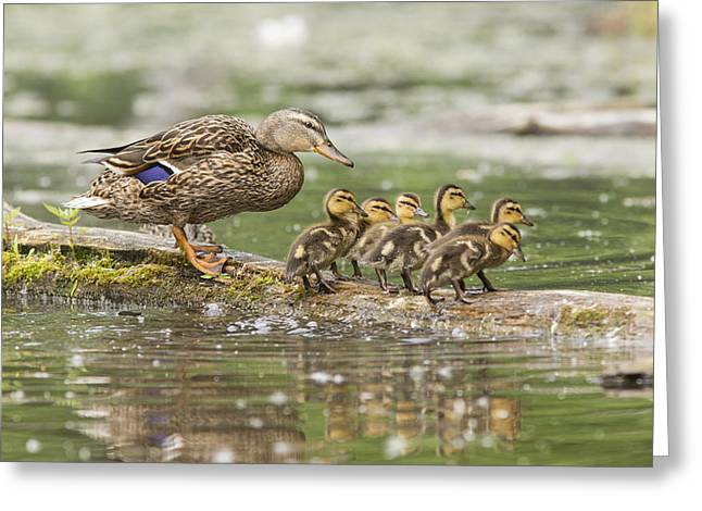 Ducklings Greeting Cards - Mallard Family  Greeting Card by Mircea Costina Photography