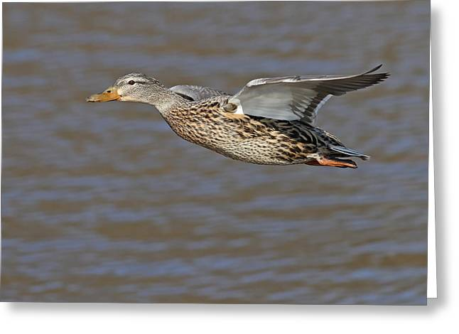 Mallard Fly By Greeting Card by Jim Nelson