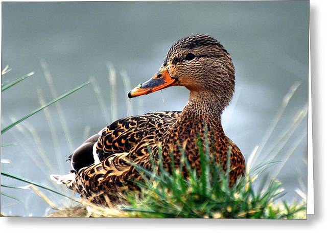 Duck Greeting Cards - Mallard hen in the grass - 1 Greeting Card by Don Mann