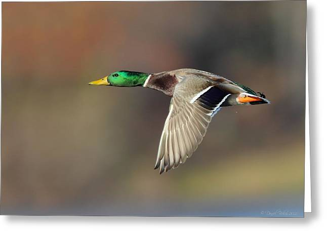 Michigan Pyrography Greeting Cards - Mallard in Flight Greeting Card by Daniel Behm