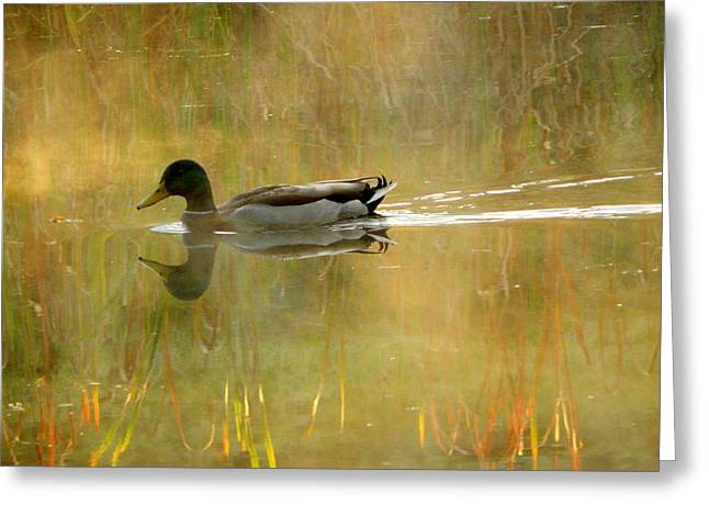 Reflections Of Sun In Water Greeting Cards - Mallard in the Morning Greeting Card by Karen Cook