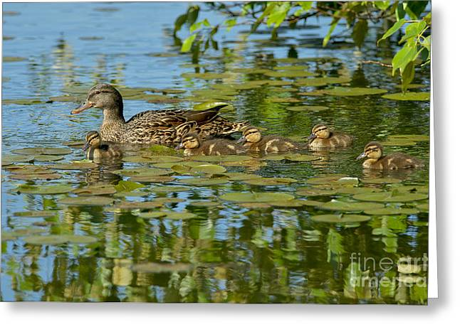 Mallard Ducklings Greeting Cards - Mallard Mom and the Kids Greeting Card by Sharon  Talson