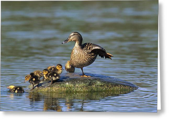 Baby Mallards Greeting Cards - Mallard Mother With Ducklings Europe Greeting Card by Konrad Wothe