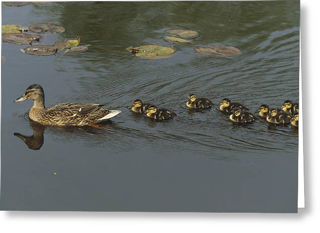 Ducklings Greeting Cards - Mallard Mother with Ducklings Greeting Card by Konrad Wothe