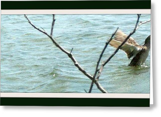 Purchase Greeting Cards - Mallard on a Mission Greeting Card by Gail Matthews