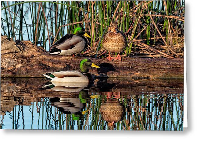 Anatinae Greeting Cards - Mallard Reflections Greeting Card by Kathleen Bishop