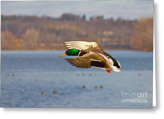 Flying Animal Greeting Cards - Mallard Greeting Card by Robert Pearson