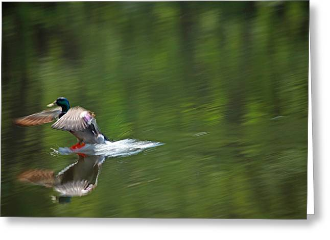 Mallards Greeting Cards - Mallard Splash Down Greeting Card by Karol  Livote