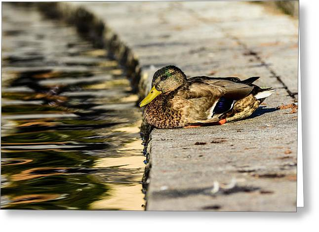 Ducklings Greeting Cards - Mallard Greeting Card by Toppart Sweden