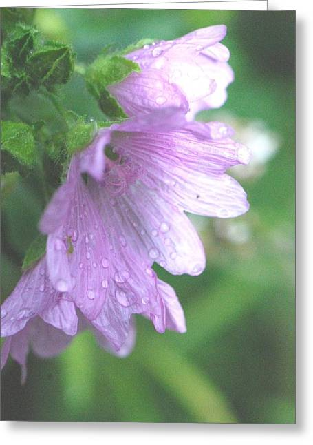 Blooms Greeting Cards - Mallow After the Rain Greeting Card by Amy Porter